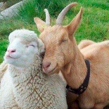 Ovinos e caprinos