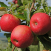 Folhas e frutos